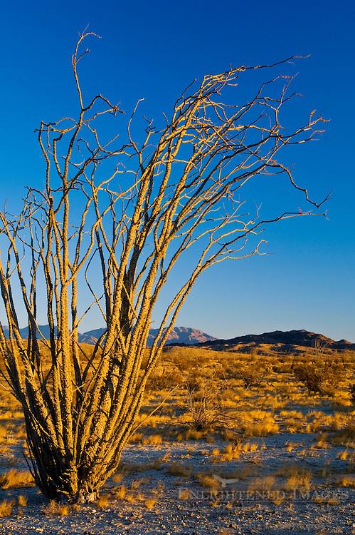 Ocotillo plant in morning light, Anza Borrego Desert State Park, San Diego County, California