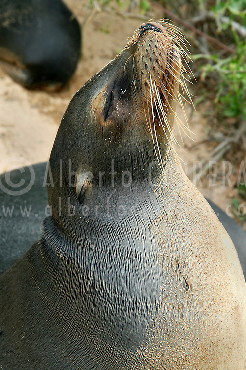Alberto Carrera, Galápagos Sea Lion, Zalophus wollebaeki, Fur Seal, Galápagos National Park, UNESCO, World Heritage Site, Biosphere Reserve, Galápagos Islands, Ecuador, South America