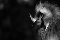 A bleeding heart baboon caught in late afternoon light in the Simien Mountains National Park.