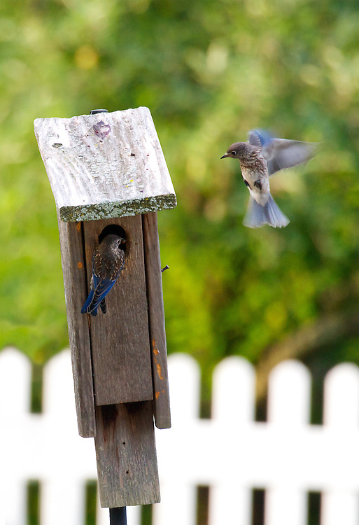 Two baby bluebirds playing around their wooden bird house.  One bluebird is perched on the entrance to the bird house.  The other is flying around the bird house.