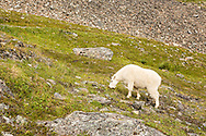 Mountain Goat (Oreamnos americanus) grazing along the Crow Pass Trail in Chugach National Forest in Southcentral Alaska. Summer. Afternoon.
