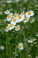 SCENTED MAYWEED Matricaria recutita (Asteraceae) Height to 60cm. Similar to Scentless Mayweed but scented and aromatic. Grows on disturbed ground. FLOWERS are borne in clusters of solitary, long-stalked heads, 20-30mm across, with yellow disc florets and white ray florets (Jun-Aug). No scales between disc florets. Receptacle is hollow and conical. FRUITS are achenes without black oil glands. LEAVES are feathery and much-divided. STATUS-Widespread and common only in the S.