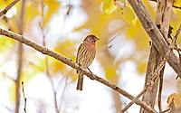 A male House Finch rests on a warm October afternoon.