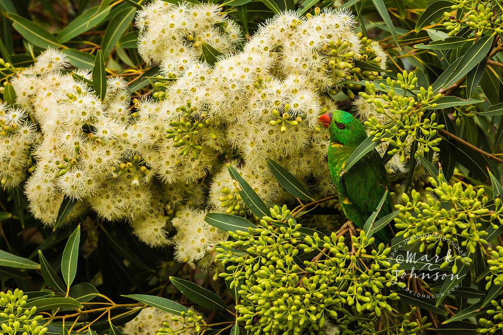 Scaly-Breasted Lorikeet (Trichoglossus chlorolepidotus) feeding on gum tree flowers, Moffat Headland, Queensland, Australia