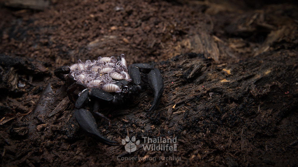 A scorpion species carrying its young on its back in Nan, Thailand