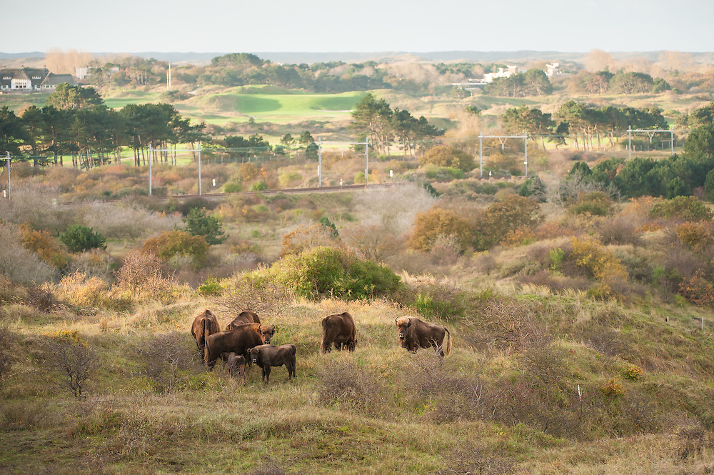 Herd of European bison (Bison bonasus) at the edge of their territory overlooking the village of Zandvoort in the background