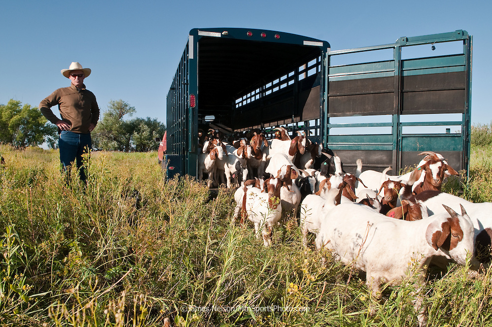 Mark Harbaugh, Patagonia fly fishing representative and goat rancher, unloads his noxious weed control crew to graze on a field of leafy spurge in east Idaho.