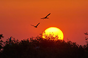 Ibis silhouttes at sunset Arthur R Marshall National Wildlife Reserve Florida