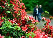 © Licensed to London News Pictures. 07/06/2013. Wisley, UK People walk past a display of rhododendron. People enjoy the warm weather at RHS Wisley in Surrey today 7th June 2013. Photo credit : Stephen Simpson/LNP