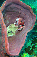 Pulau Besar, Perhentian Islands, Malaysia, April 2006. A Zebra Lion fish and a soldier fish in a barrel sponge at Tokong Laut. diving off the Perhentian Islands one can see lots of big and small marine life and various sorts of hard and soft corals. Photo by Frits Meyst/Adventure4ever.com