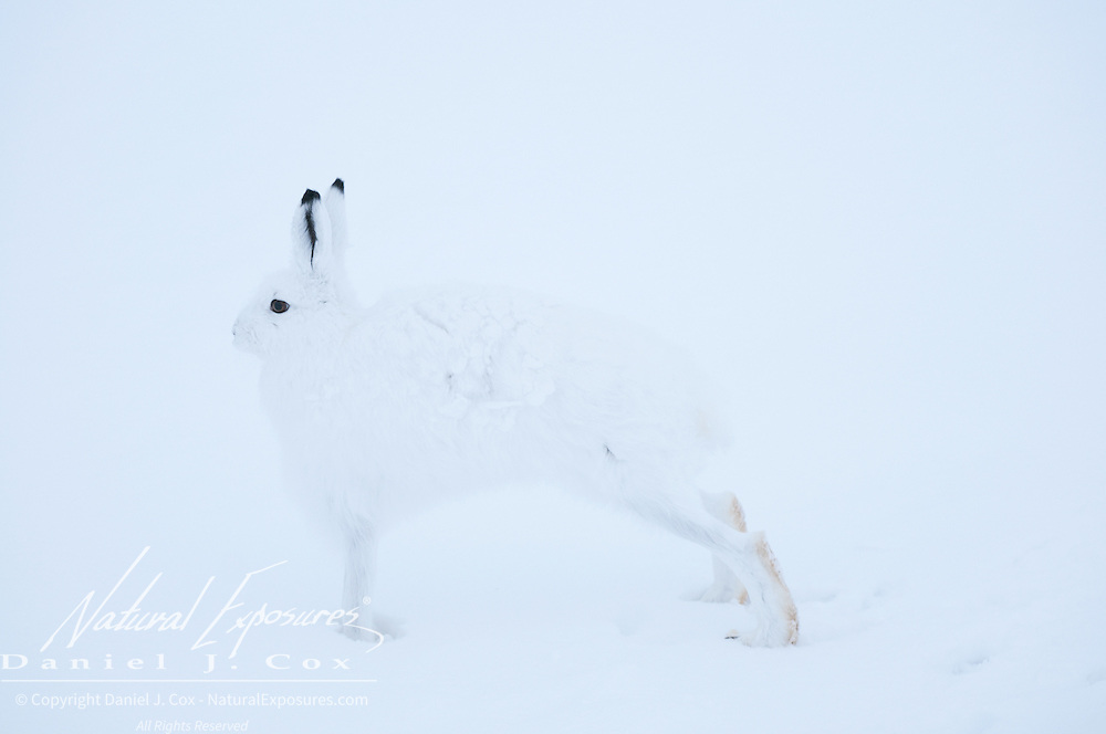 An arctic hare blends into its surroundings in Churchill, Manitoba, Canada.