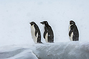 Three Adélie Penguins (Pygoscelis adeliae) in a snow storm, Brown Bluff, Antarctic Peninsula