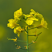 A single stalk of the flower used to make Canola oil
