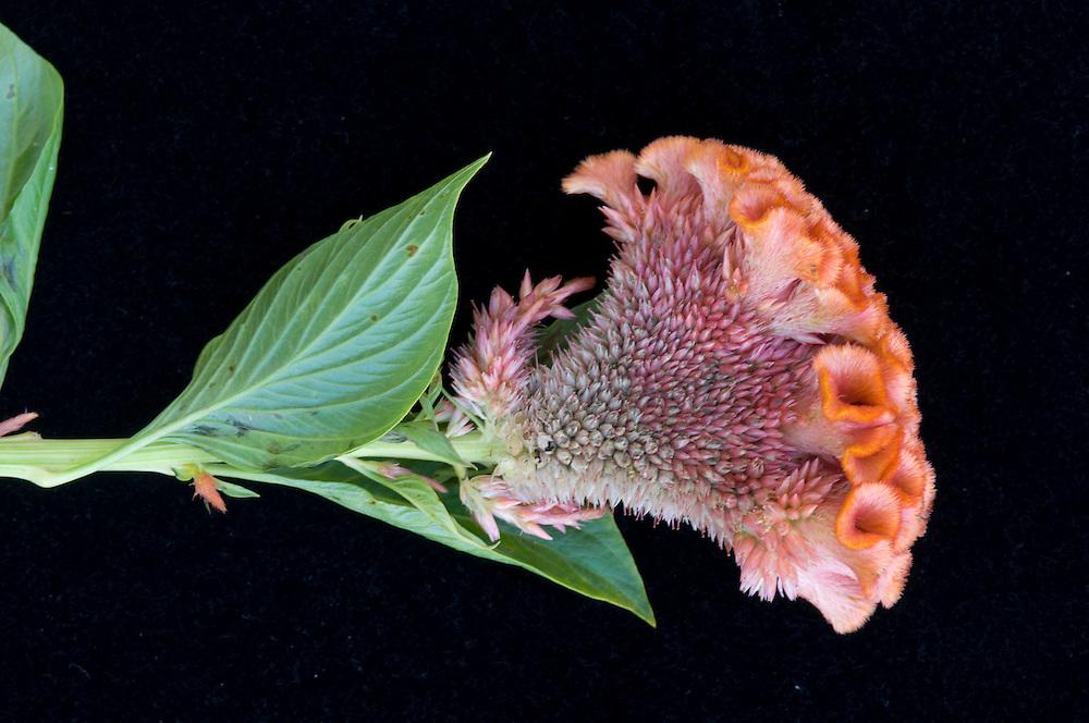 Cockscomb Celosia (Flower)