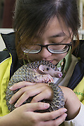 Chinese pangolin <br /> Manis pentadactyla<br /> Research assistant, Hsuan-yi Lo, holding three-month-old orphaned baby (named Gung-wu). Gung-wu is the offspring of parents rescued from poachers.  <br /> Taipei Zoo, Taipei, Taiwan<br /> *Model release available