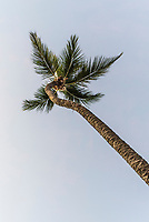 Coconut Palm Tree, Mahe, Seychelles