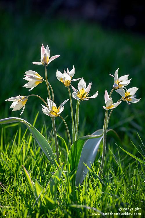 Tulipa turkestanica AGM growing in long grass