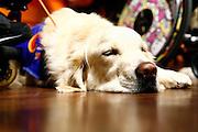 Wiesbaden | 30.10.2010..Vita Gala im Kurhaus Wiesbaden, hier: Vorstellung der Mensch-Hund-Teams auf der Buehne im Friedrich-von Thiersch-Saal im Kurhaus, einer der Hunde ruht sich aus...©peter-juelich.com..[No Model Release | No Property Release]