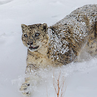 Snow Leopard Photographed by Sagar Gosavi in Spiti Valley, Himachal Pradesh, India.