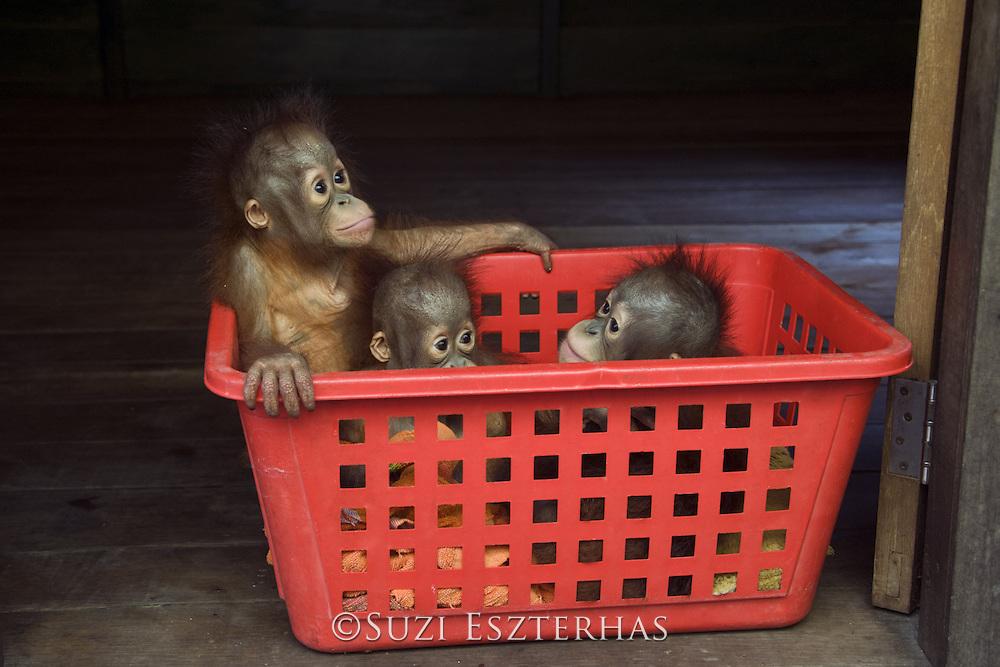 Bornean Orangutan<br /> Pongo pygmaeus<br /> Two year old infants<br /> Orangutan Foundation International's Orangutan Care Center, Borneo, Indonesia