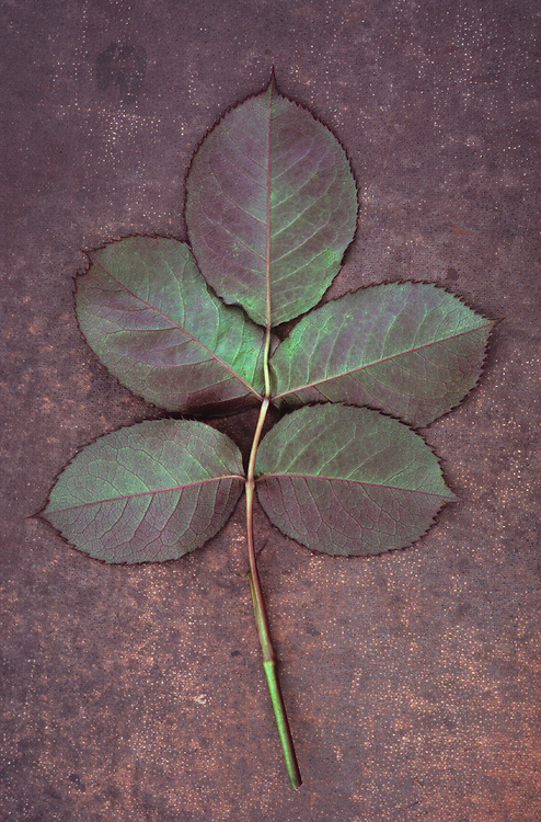 Back of leaf or Rose or Rosa Sallys consisting of five burgundy red and green leaflets lying on scuffed dark red board