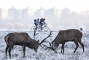 UNITED KINGDOM, London: 18 January 2017 Rutting deer in a frosty Richmond Park during sunrise this morning. Temperatures dropped to -4C in certain parts of the capital last night causing wide spread frost. Rick Findler / Story Picture Agency