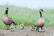 Cackling Geese, Branta hutchinsii, male and female with goslings, Yukon Delta NWR, Alaska