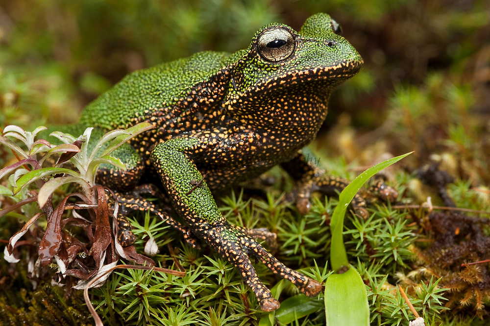 Marsupial Frog (Gastrotheca turnerorum), a newly discovered species, Podocarpus National Park, Ecuador
