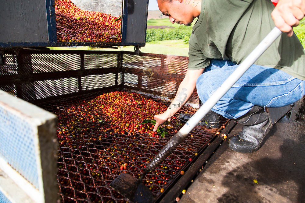 The pulping process of the coffee cherry at the Ka'u Coffee Mill, in the district of Ka'u on the Big Island of Hawaii, USA, America