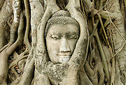 Buddha Head, Wat Mahathat, Ayutthaya..This stone head of Buddha has become caught in the roots of a Banyan tree, creating one of the sights in Ayutthaya.