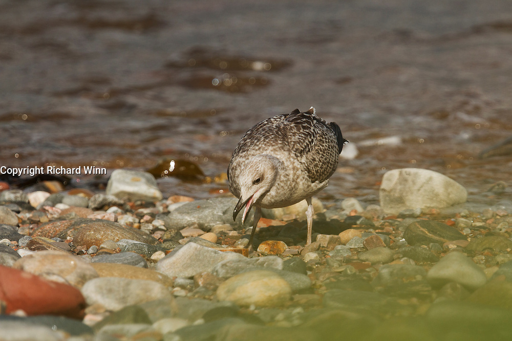 Juvenile herring gull searching for food amongst the pebbles on Cromarty Beach.
