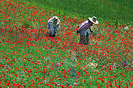 Women in Poppies field near Chefchaouen, Poppy Flower, Rif Mountains, Morocco