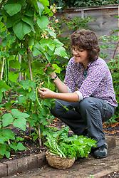Harvesting runner beans. Phaseolus coccineus