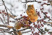 Eastern Fox Squirrel (Sciurus niger), Montana
