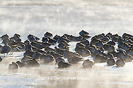 00748-05607 Canada Geese (Branta canadensis) flock on frozen lake,  Marion Co, IL
