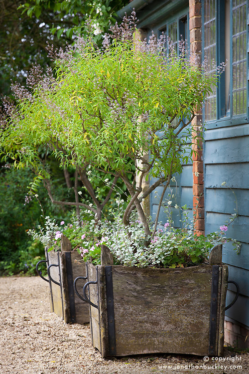 Lemon verbena - Aloysia triphylla AGM - growing in a wooden planters at Hidcote Manor garden