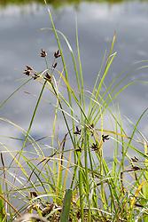 Heen, Bolboschoenus maritimus subsp. compactus
