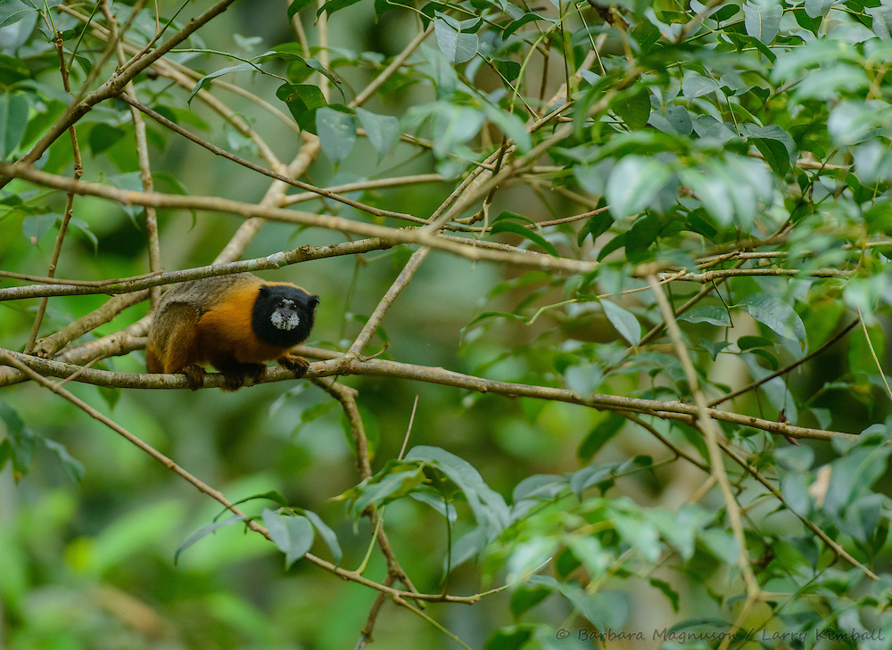 Golden-mantle Tamarin [Saguinus tripartitus] foraging; Napo Wildlife Center, Yasuni National Park, Ecuador