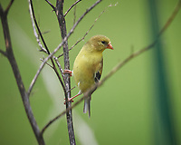 American Goldfinch. Image taken with a Nikon D5 camera and 600 mm f/4 VR telephoto lens (ISO 800, 600 mm, f/5.6, 1/1250 sec).