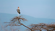 Marabou stork (Leptoptilos crumeniferus) in a tree top at Lake Bogoria, Kenya.