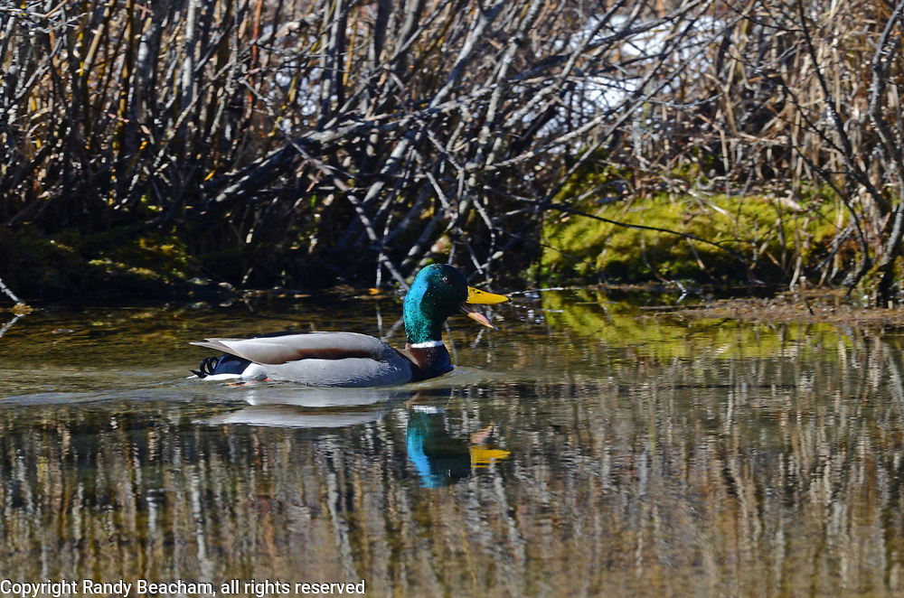 A male mallard at Upper Ford Wetlands in spring. Yaakl Valley in the Purcell Mountains, northwest Montana.