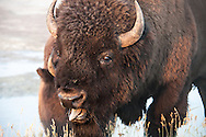 Closeup of a bison at Yellowstone national park
