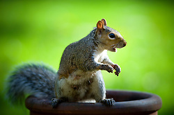 Grey squirrel on a garden plant pot, Leicester, England, United Kingdom.