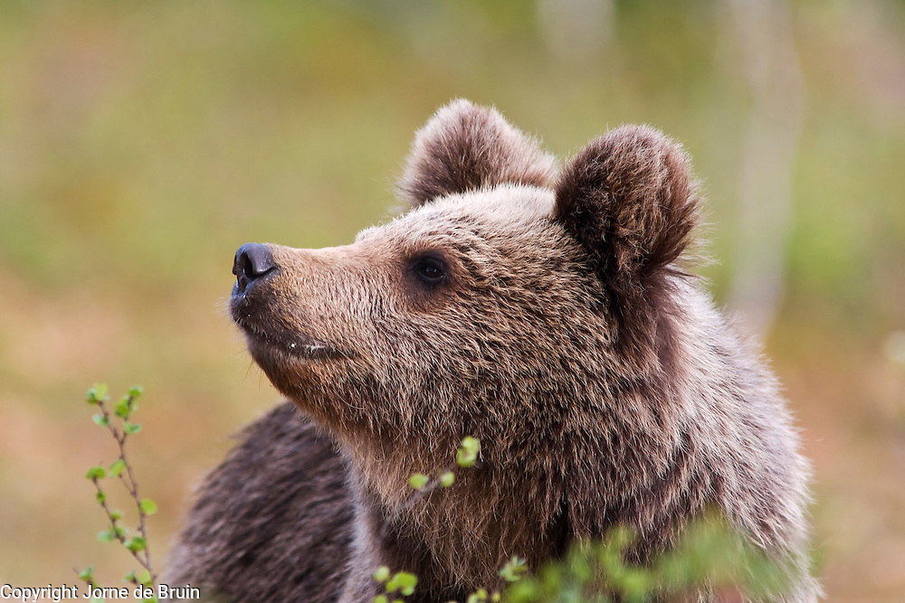 An Eurasian Brown Bear Cub sits in a swamp in Finland smelling the air.