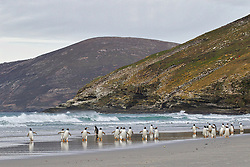 Gentoo, penguins, Saunders Island