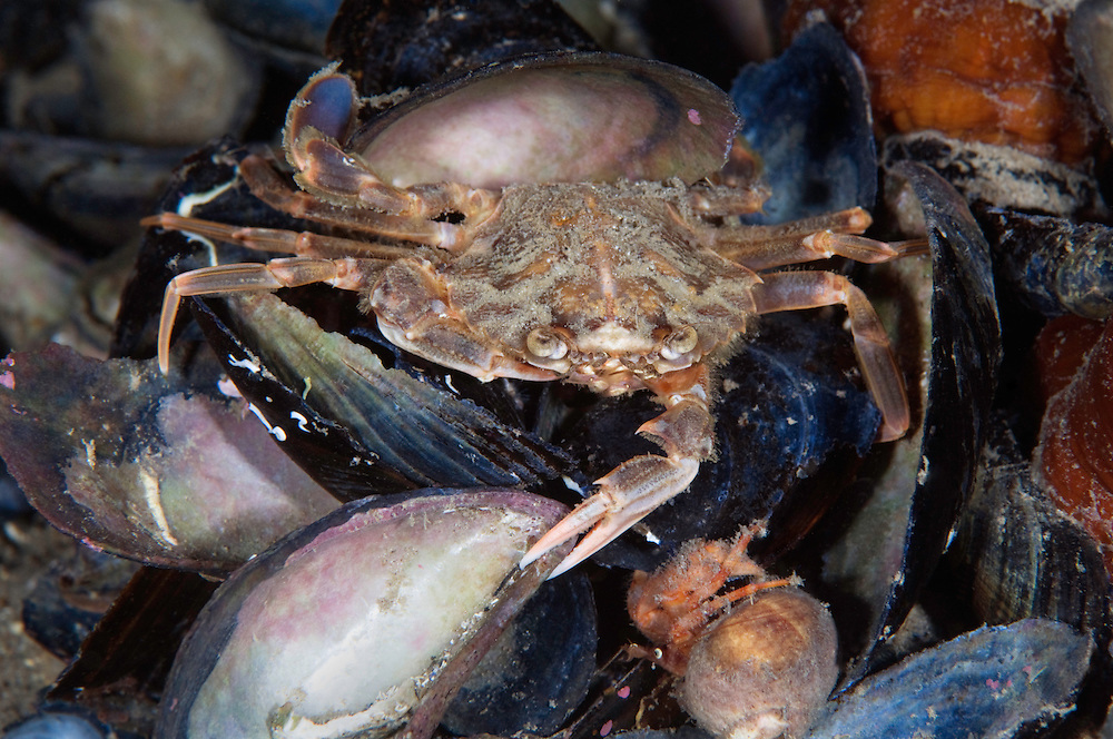 Harbour crab, Liocarcinus depurator, Lofoten, Norway,