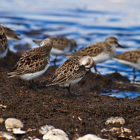 A semipalmated sandpiper (Calidris pusilla) preens amongst a group of feeding and resting sandpipers, Port Mahon, Delaware.