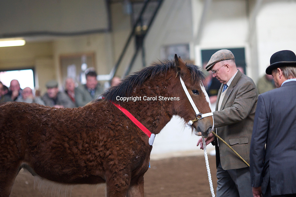 North West and Wales Shire Foal Society Show 2012<br /> Mr T Bull's Arclid Princess Kate<br /> f 18/04/12<br /> Sire   Drayhorse Fallen Oak<br /> Dam   Arclid Mickaela<br /> 2nd place  Filly Foal Class