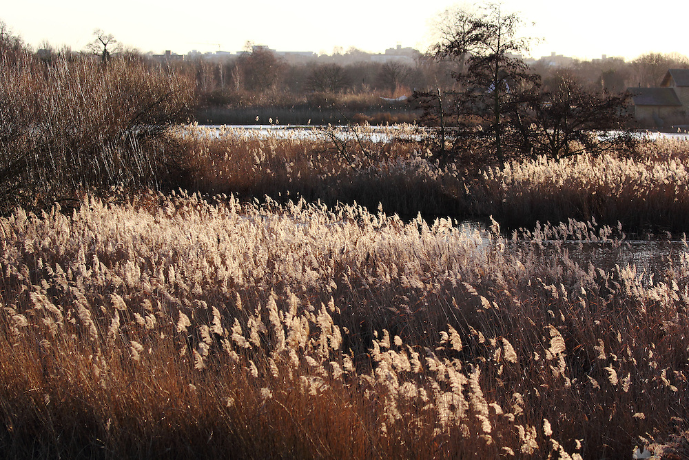 Reeds in the sunshine at the London Wetland Centre, Barnes