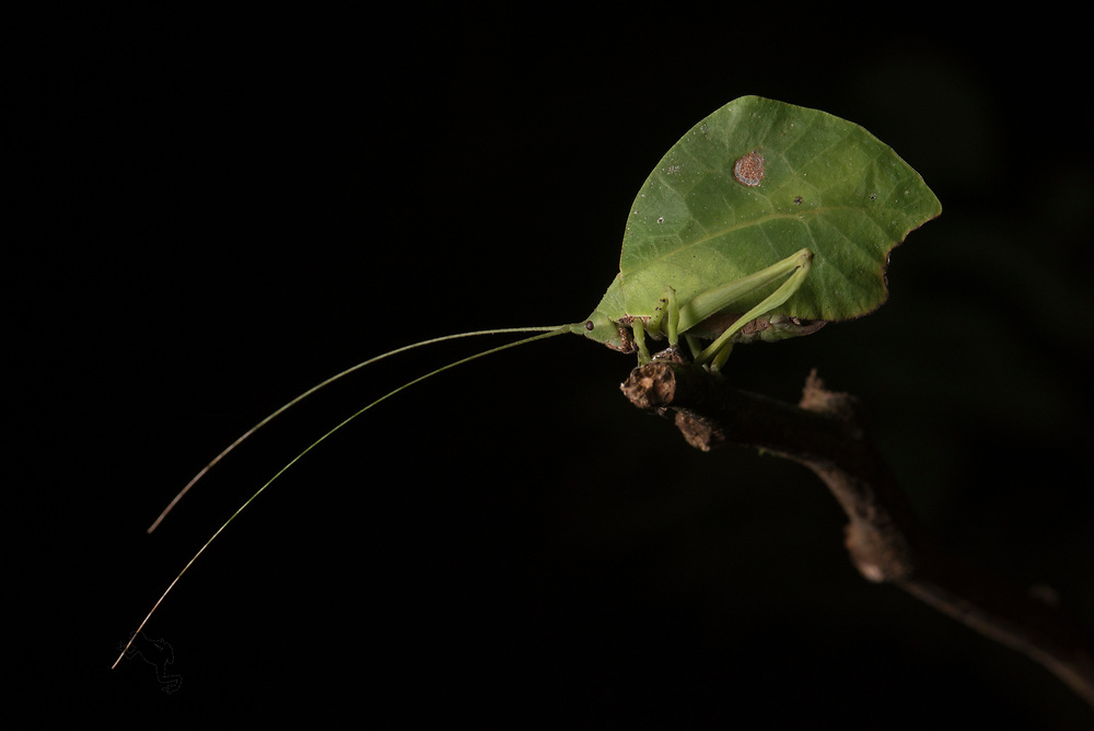 A leaf-mimic katydid perches on the end of a stick - Kanuku Mountains, Guyana